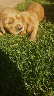 Golden Cocker Spaniel Puppies