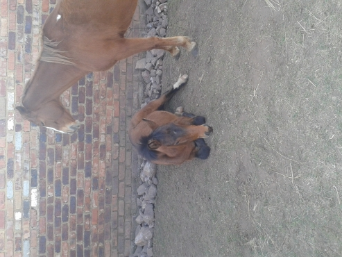 Boerperd X Filly