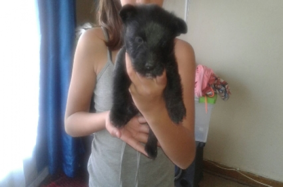 scottie puppies