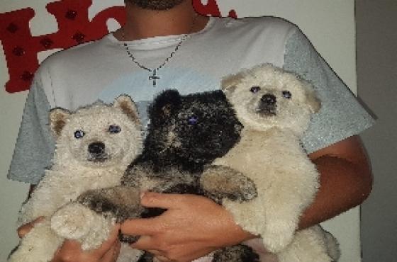 Swiss Shepherd and German Shepherd puppie