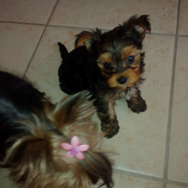 Miniature Yorkshire Terrier Female