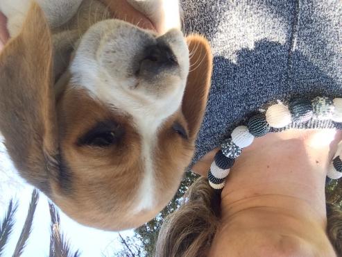 KUSA registered beagles