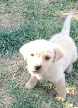 Pure Bred Labrador Puppies for sale