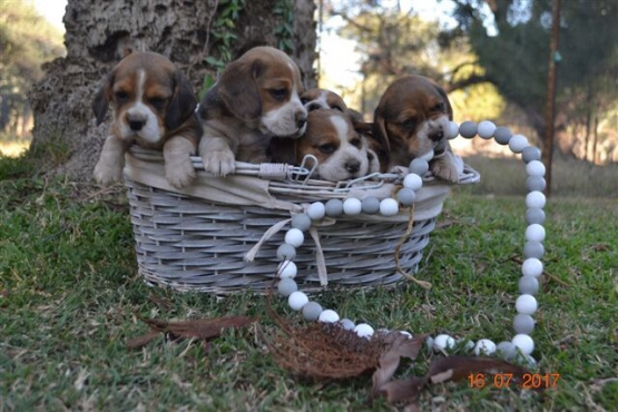 KUSA registered beagles