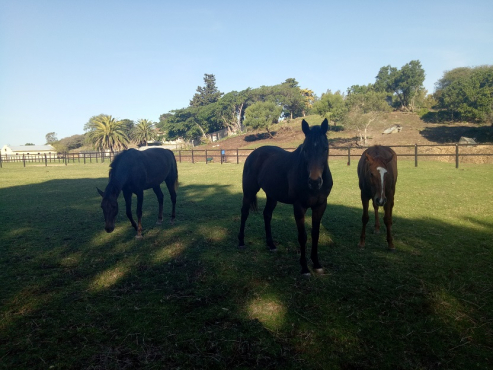 3 Race horse selling in total