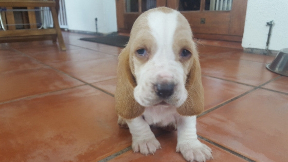 Pure breed Basset puppies looking for loving home