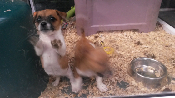 2x pure bred short leg jack russle pups