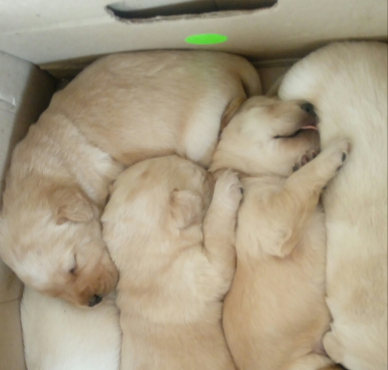 Golden Labrador puppies for sal