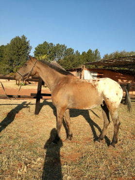 Endurance appaloosa gelding for sale or for lease