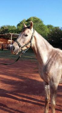 Arabian gelding for sale