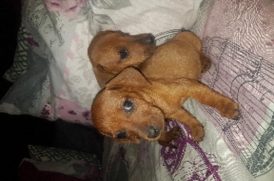 Mini Tan Dachshund puppies