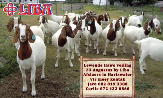 Livestock auction Wednesday at Liba Auctioneers in Hartswater