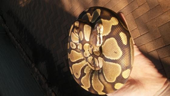 100% Het pied male Ball python