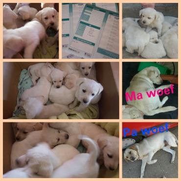 Beautiful labradour puppies