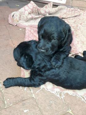 2 black Labrador puppies
