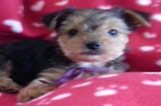 Yorkshire terrier tefie