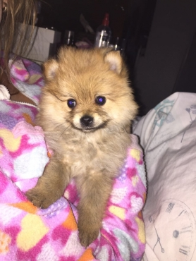 Miniature Toy Pom puppies