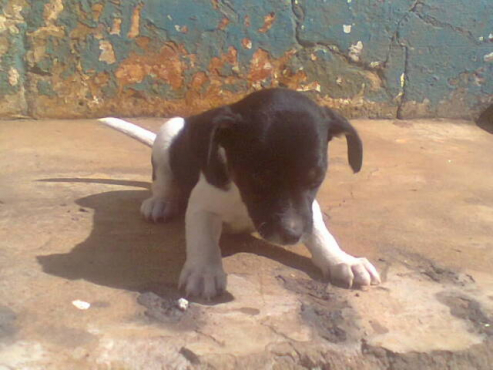 Dogs and Puppies in Pretoria East | Junk Mail