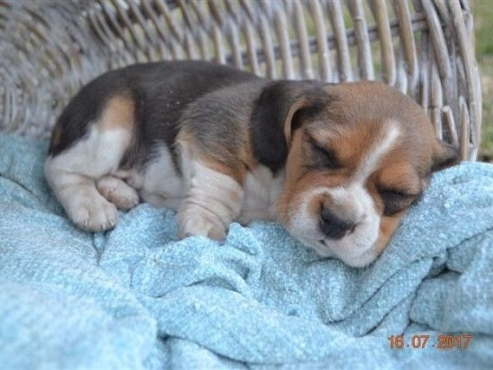 KUSA registered beagle puppies for sale