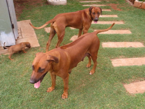 Ridgeback / Rifrug puppies