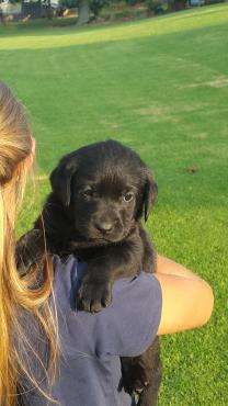 Goue en swart Labrador hondjies