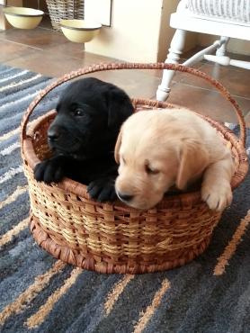 Golden & Black Labrador puppies