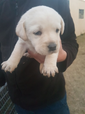 Golden Labrador puppies for sale