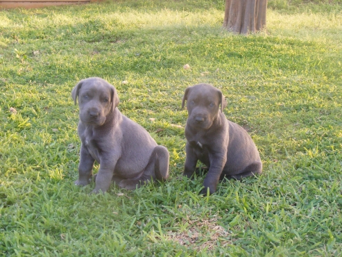 BLUE GREAT DANE PUPPIES FOR SALE