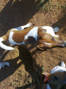 Jack Russell pure breed white and Brown male 4 months Canine registered