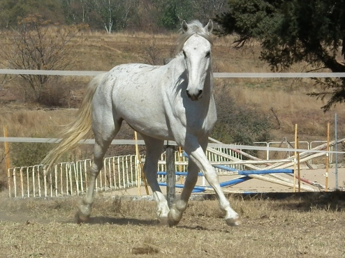 Super talented Nooity gelding - Winning full size pony