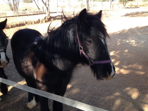 Pure bred Gypsy cob yearling