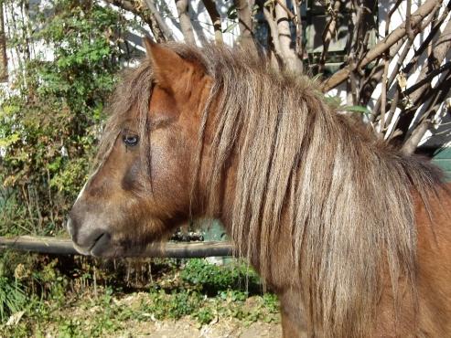 Miniture horse.