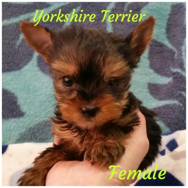 Teacup Yorkshire Terrier girl