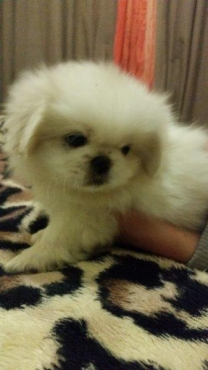 Adorable White Male Pekingese puppy for sale