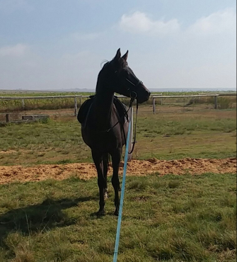 Registered Import Arabian Gelding