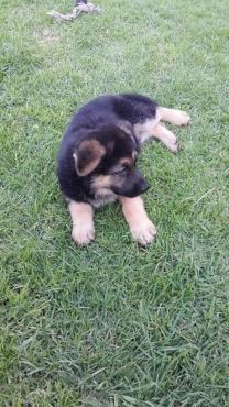 Throughbred German Shepard puppies