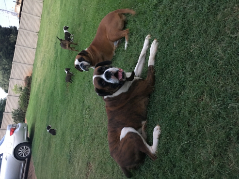 Boxer Puppies