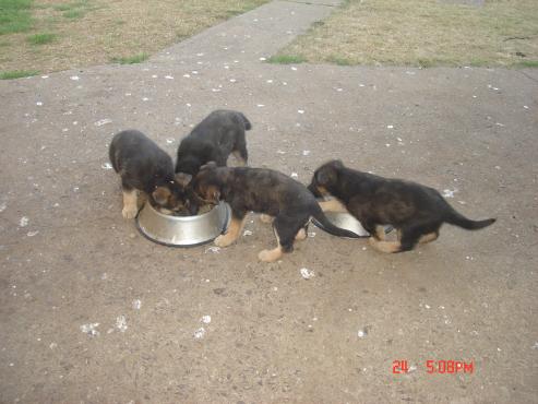 German Shephed puppies.