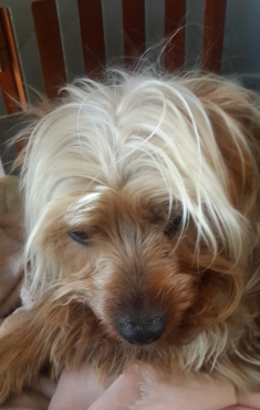 Pure breed Yorkshire terrier