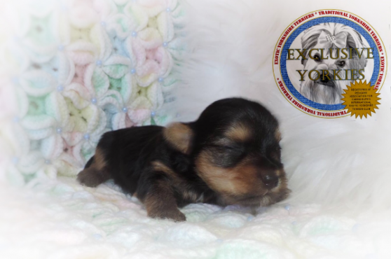 EXTREME DOLLFACE TEACUP MALE YORKIE YORKSHIRE TERRIER PUPPY