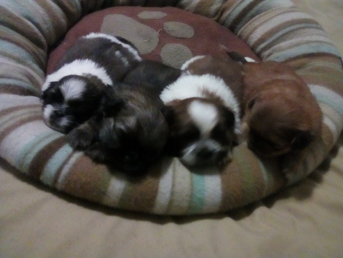 Duchunese pups for sale