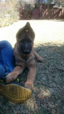 Registered German Shepherd puppies for sale.