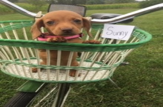 Smooth Coat Miniature Dachshund Puppies for Sale
