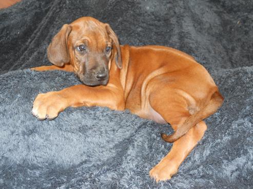 Puppies – KUSA registered