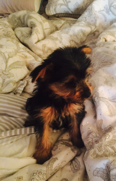 Yorkie pups for sale - cutest 8 week old puppies