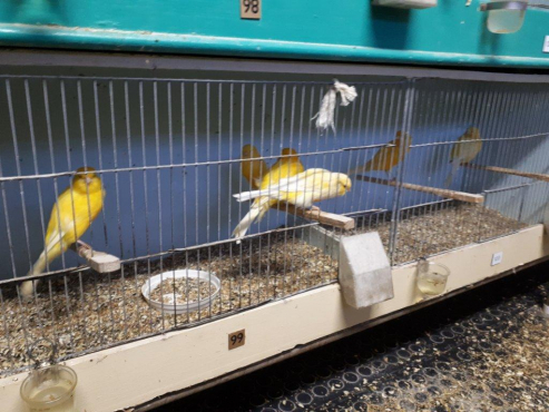 Show Canaries for sale