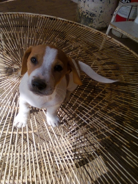 Brilliant 8 weeks Jack Russell Canine SA registered white and tan short leg puppies  R999