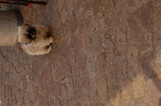 Pikanese puppy