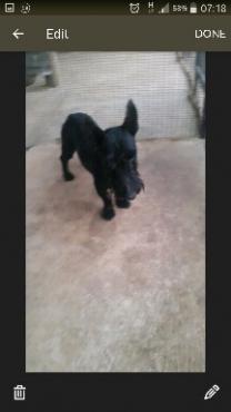 Scotty Terrier MALE