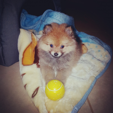 TOY POM for SALE + Accessories